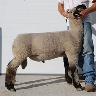 Chabot Show Lambs | Reference Sires